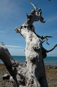 398px-Dead_tree_on_beach_1