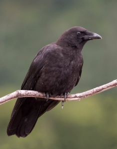 Corvus_caurinus_(profile)