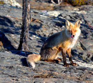 1187342_fox_5