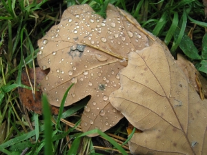 1287155_raindrops_on_oak_leaves_1