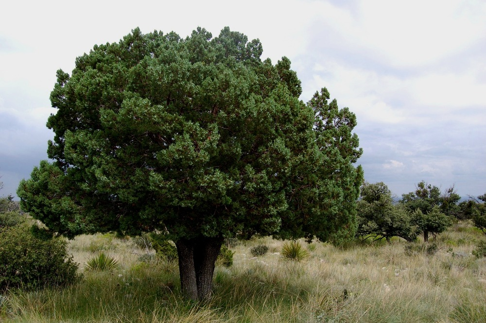 Alligator_juniper_tree048